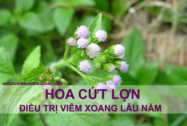 Hoa cứt lợn chữa bệnh viêm xoang mũi lâu năm