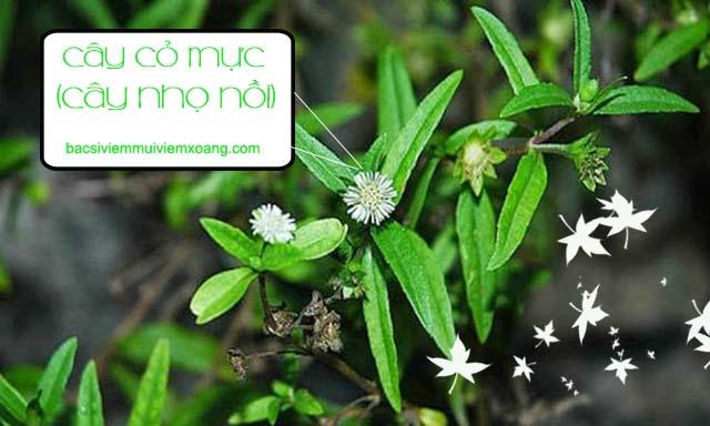 Cây cỏ mực - loại cây cỏ dại chữa viêm xoang