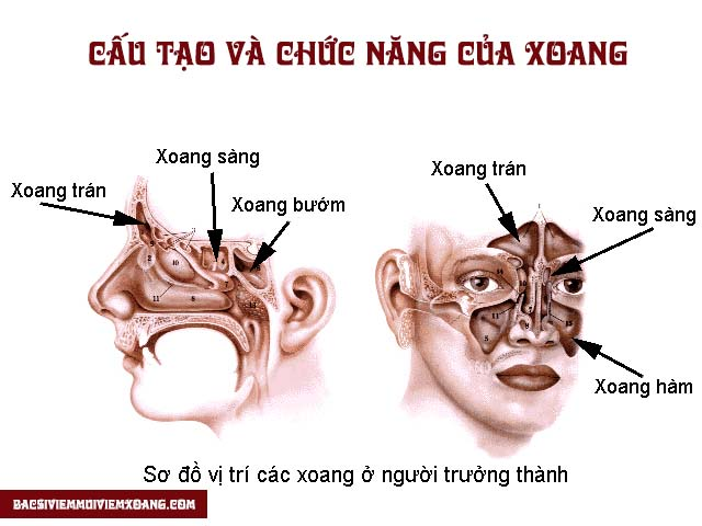 Cấu tạo và chức năng của xoang mũi