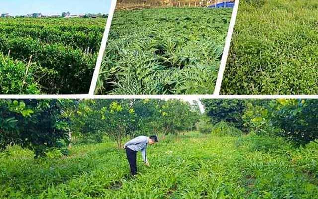 Vườn thảo dược đạt chuẩn GACP - WHO
