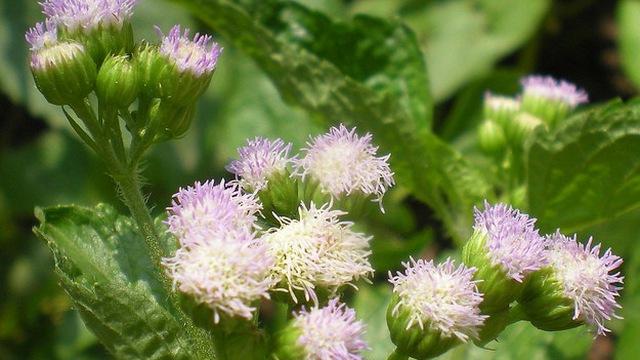 Chữa viêm xoang cấp tính hiệu quả với hoa ngũ sắc