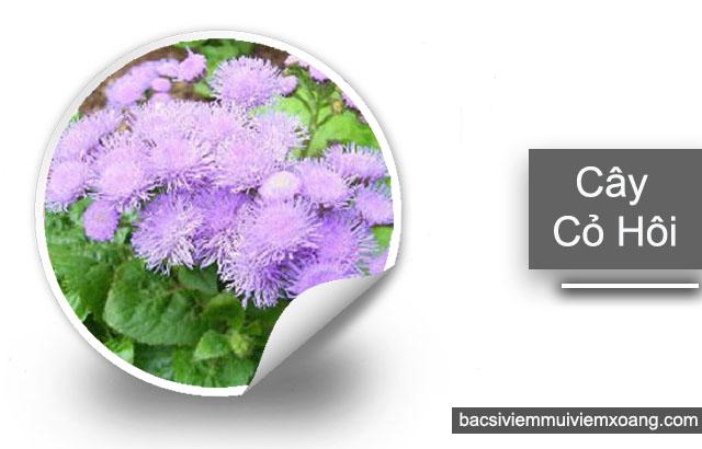 Hoa ngũ sắc - Bài thuốc nam trị viêm mũi dị ứng
