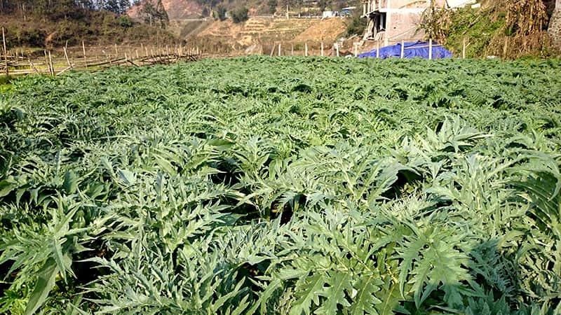 Vườn thảo dược sạch, nguồn cung cấp dược liệu của Trung tâm Đông y Việt Nam